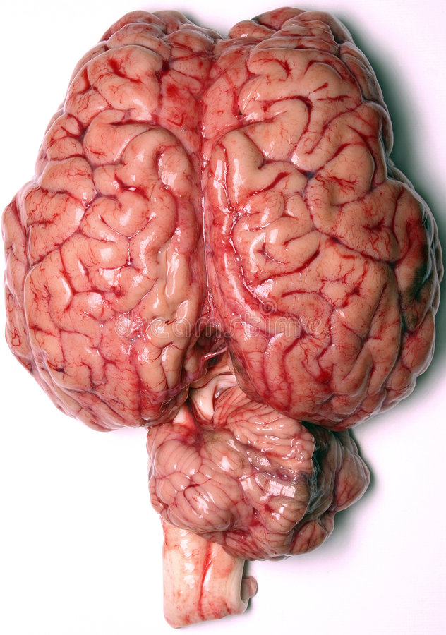 Real Brain. Close-up of a real brain organ (bovine royalty free stock photography