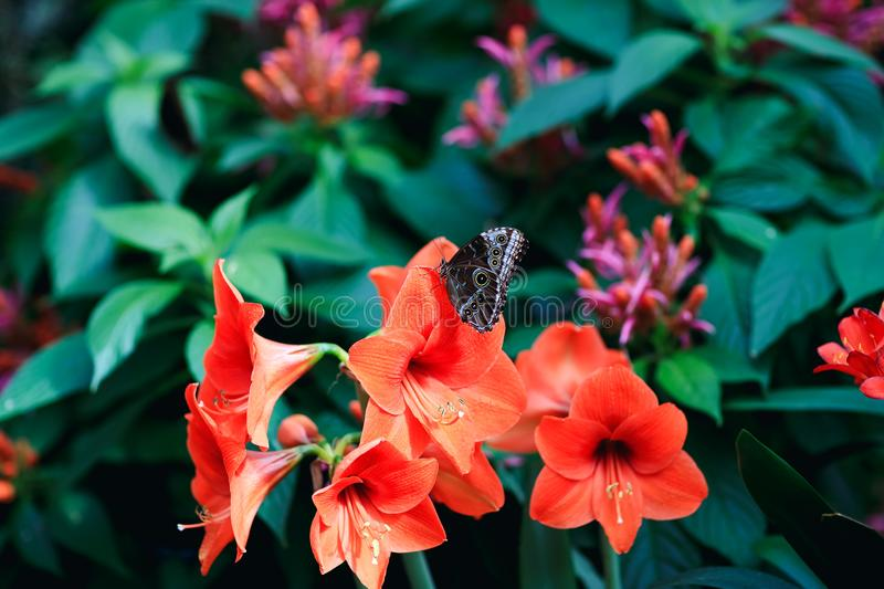 Real butterfly on red lily petal in spring garden. stock image