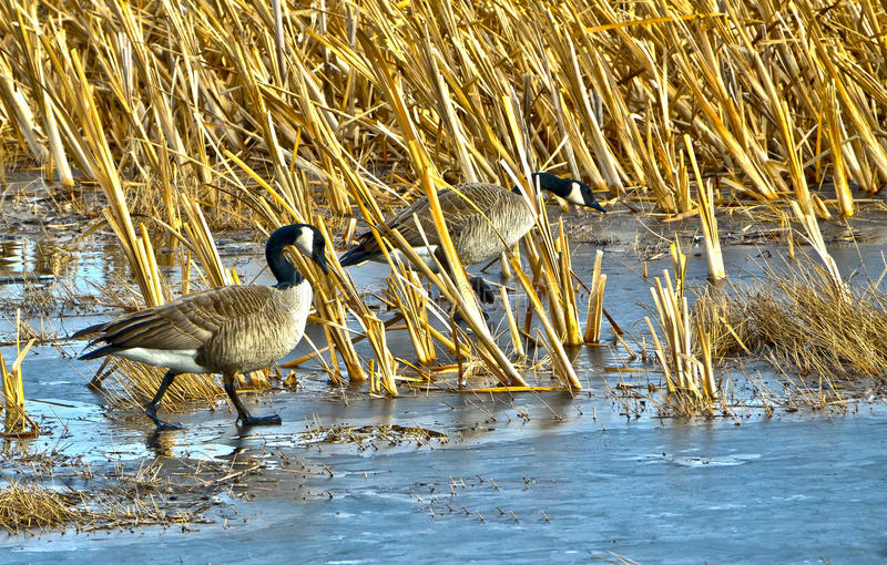 Real Canadian Geese royalty free stock photo