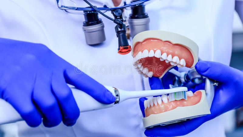 Real dentist with blue gloves showing on a jaw model how to clean the teeth with tooth brush properly and right. Doctor hands. Holding teeth model and royalty free stock images