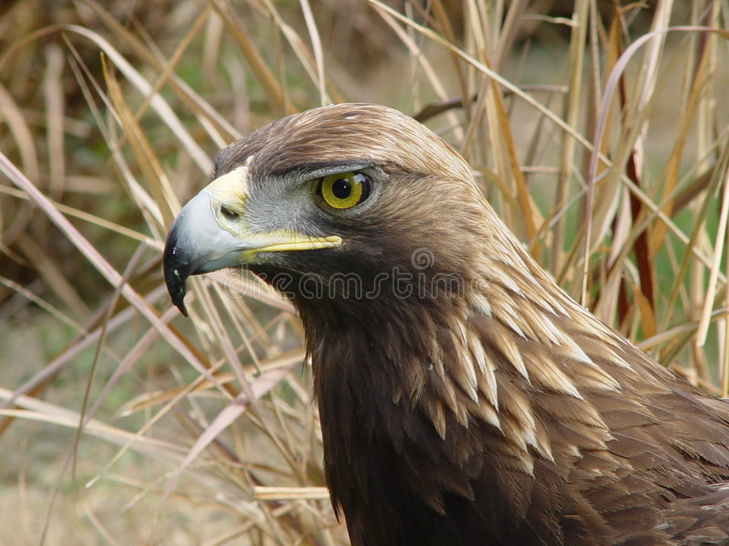 Real Eagle stock photography