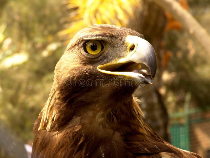 Real Eagle beak royalty free stock photography