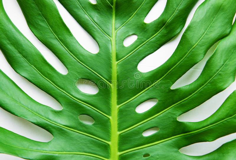 Real exotic monstera leaf stock photography