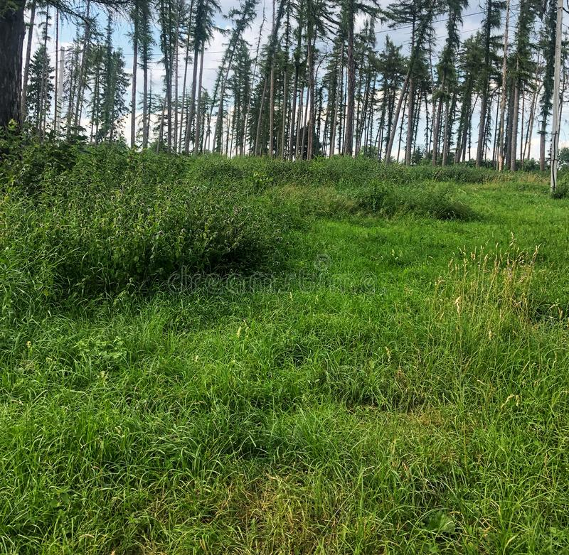 Real green glade in the pine forest. Nature, tree, foliage, landscape, environment, grass, spring, woods, plant, scene, tranquil, wilderness, park, lush, trunk stock images
