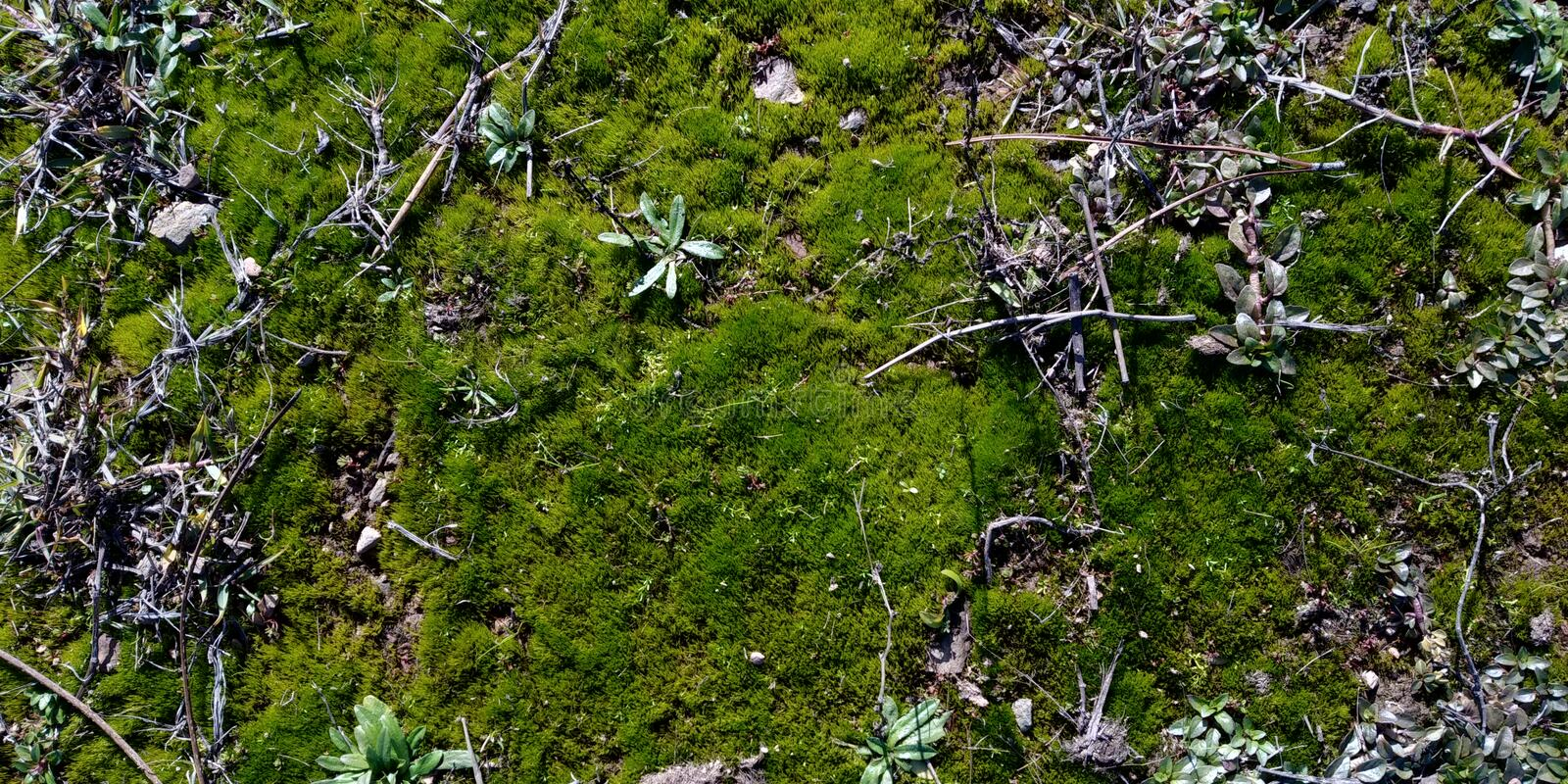 Real Green Moss Seamless Texture. Texture Real Moss with dried herbs. Musgo Verde royalty free stock photo