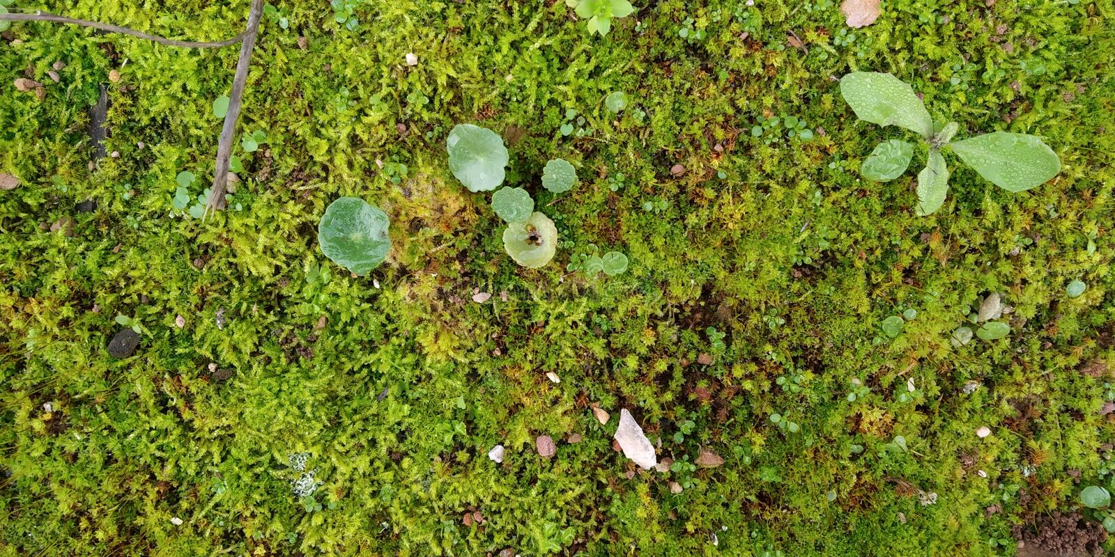 Real Green Moss Seamless Texture. Real Moss Texture with Leaves. Musgo Verde stock photos