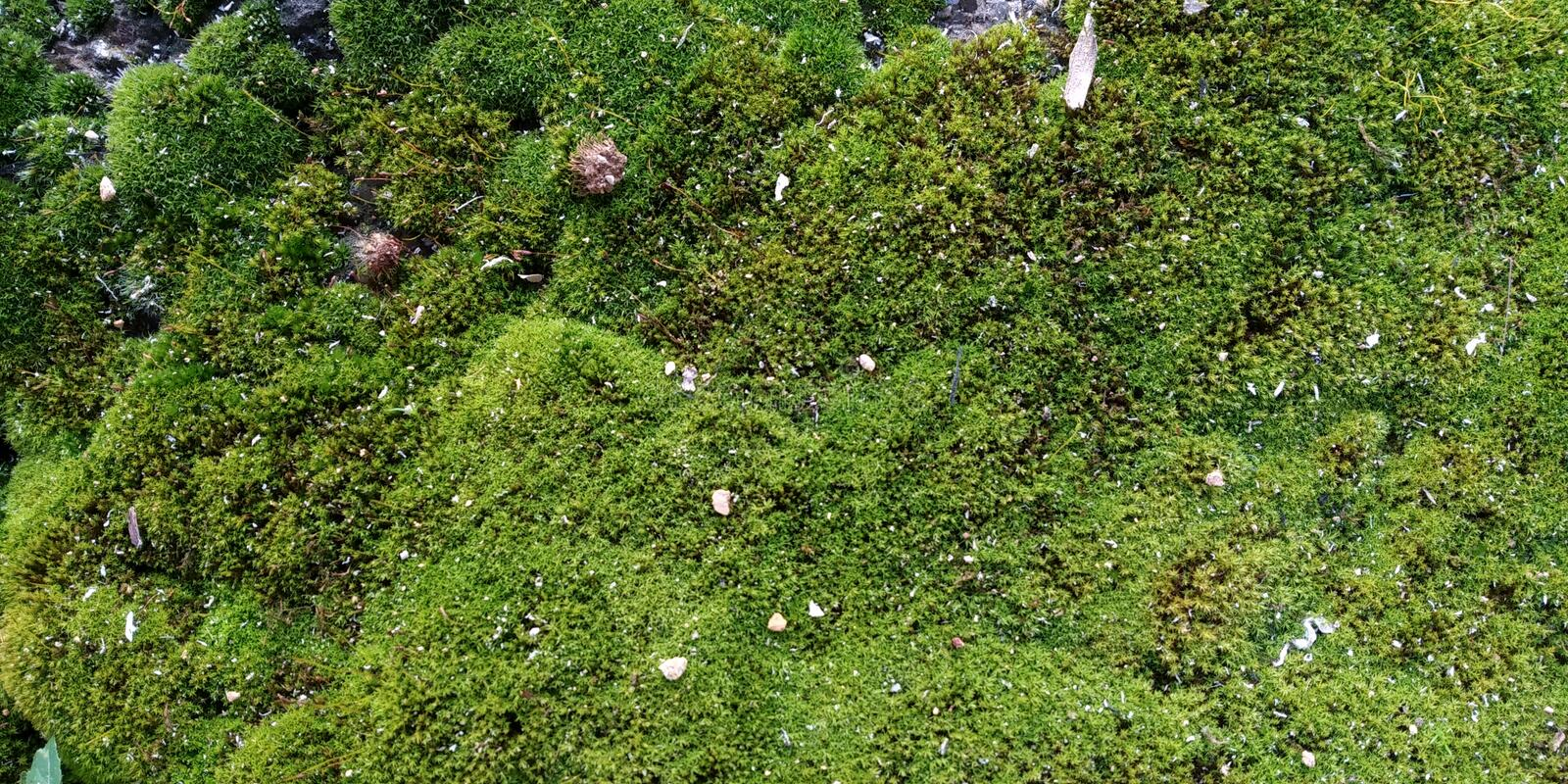 Real Green Moss Seamless Texture. Real Moss Texture. Musgo Verde royalty free stock image