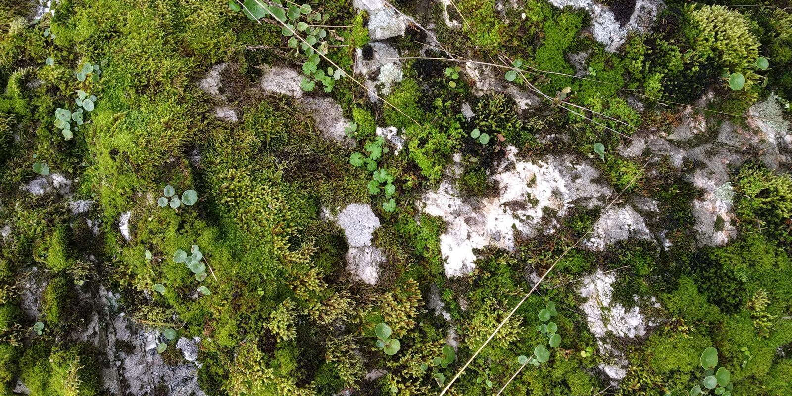 Real Green Moss Seamless Texture. Real Moss Texture in Stone. Musgo Verde stock images