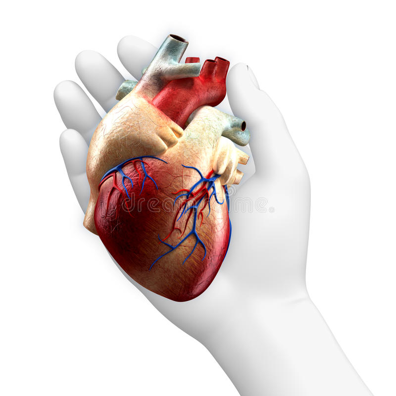 Real Heart in Hand royalty free illustration