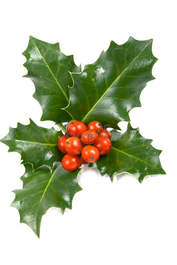 Real holly berries and leave. On white stock image