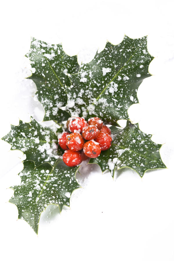 Real holly berries and leave. On white stock photos
