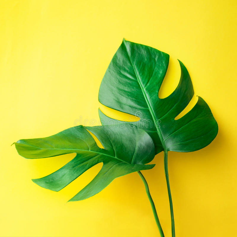 Real leaves on pastel color background.Botanical tropical royalty free stock image