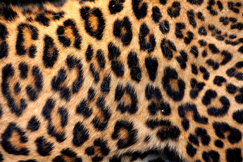 Real Leopard Skin royalty free stock photo