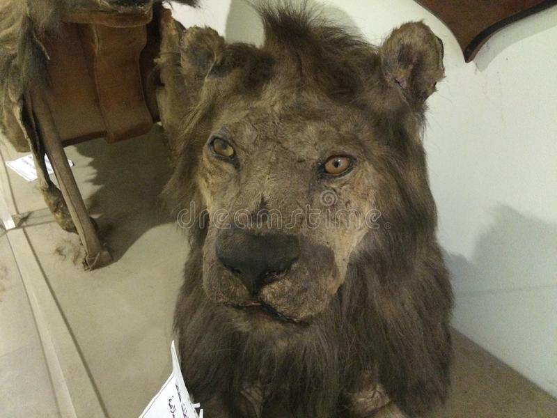 Real lion face in manial palace. Real lion face inside hunting museum in manial palace, Cairo, Egypt royalty free stock photography