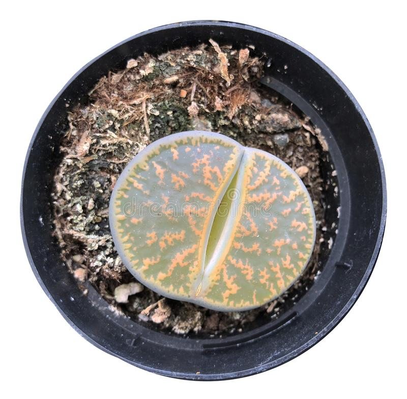 Rare Lithops Living Stone Succulent Isolated From Background royalty free stock image