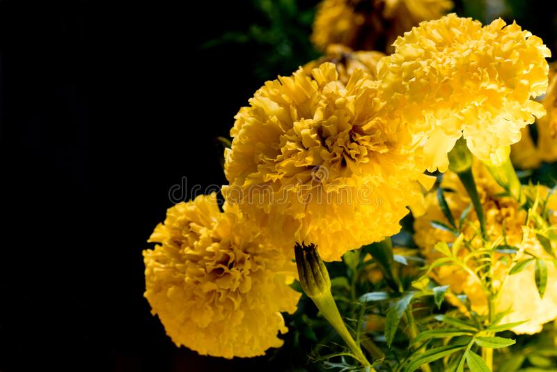 Real Marigold flowers Full bloom the flower look bright beautiful in the dark. royalty free stock images