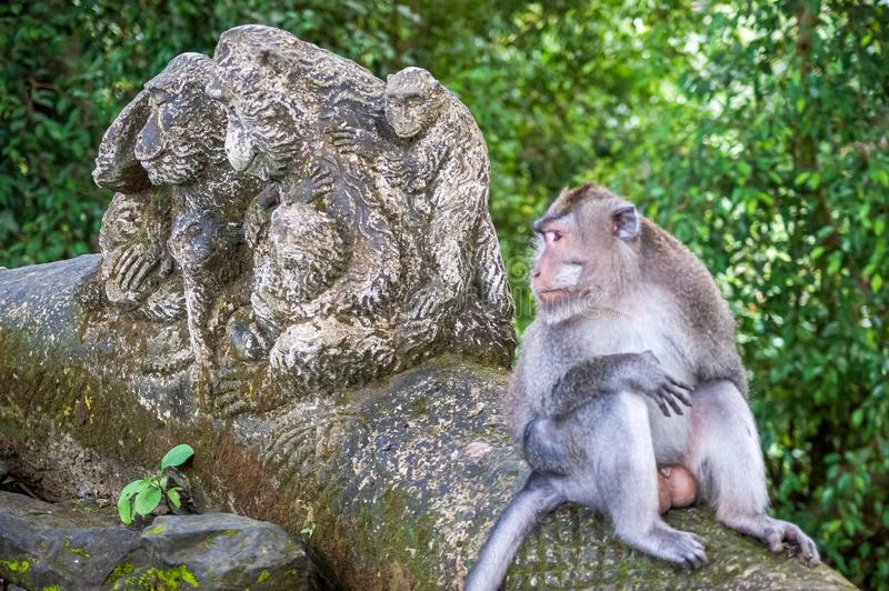 Real monkey next to a statue of fake monkeys at Ubud Monkey Forest sanctuary at Bali island, Indonesia stock photography