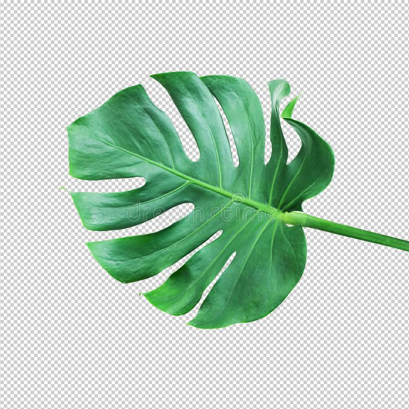 Real monstera leafnature concepts ideas stock photos