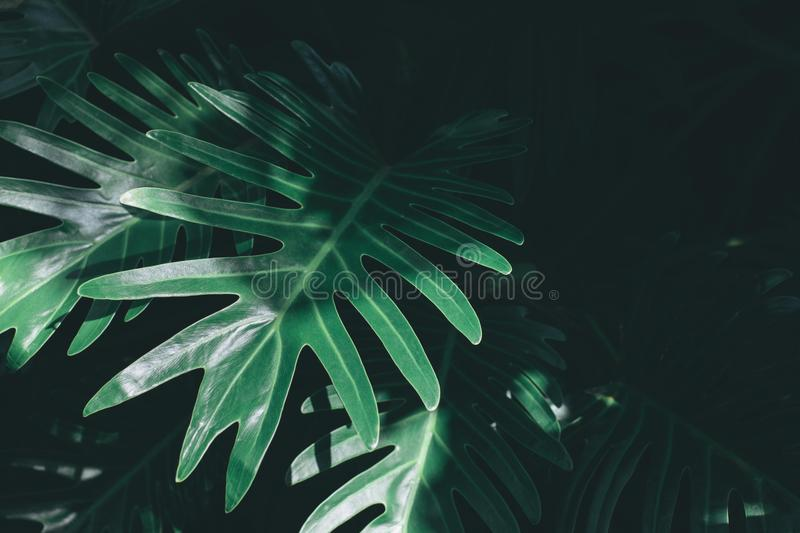 Real monstera leaves background. Tropical, botanical nature concept stock image