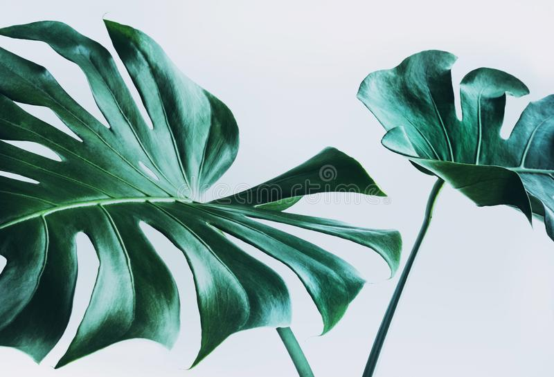 Real monstera leaves decorating for composition design.Tropical,botanical nature concepts royalty free stock photo