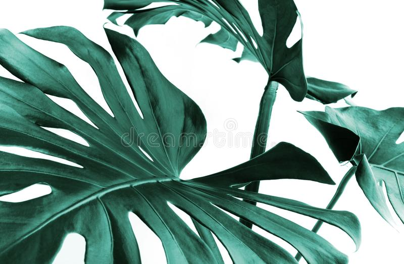 Real monstera leaves decorating for composition design.Tropical,botanical nature concepts stock photography