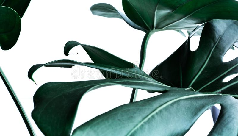 Real monstera leaves decorating for composition design.Tropical stock image