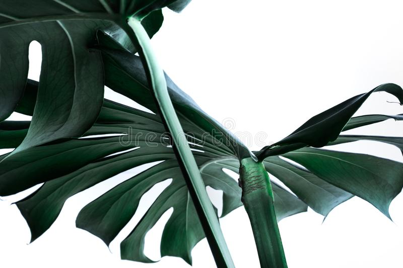 Real monstera leaves decorating for composition design. Tropical royalty free stock photos