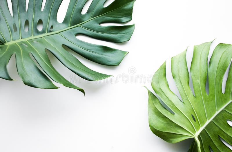 Real monstera leaves set on white background.Tropical,botanical royalty free stock image