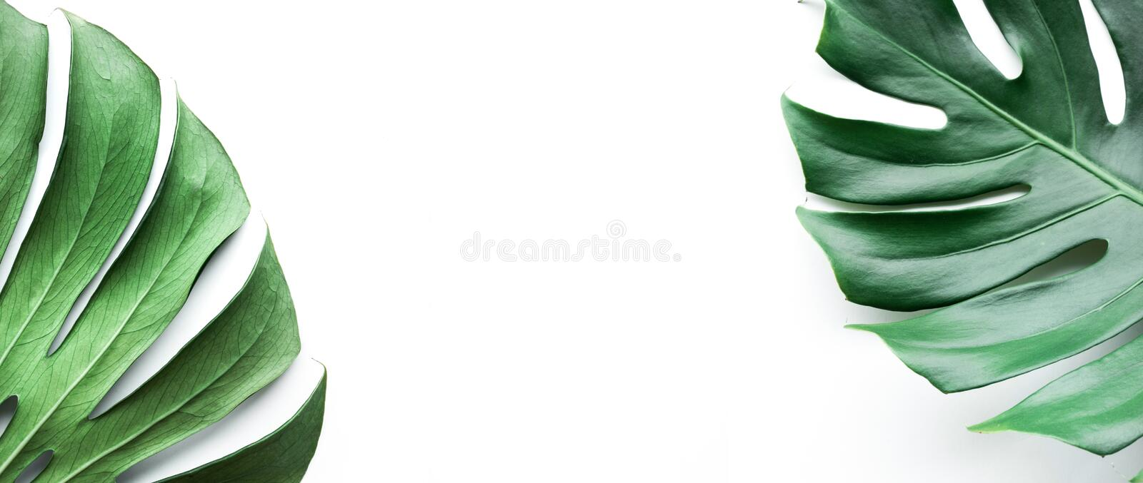 Real monstera leaves set on white background. stock image