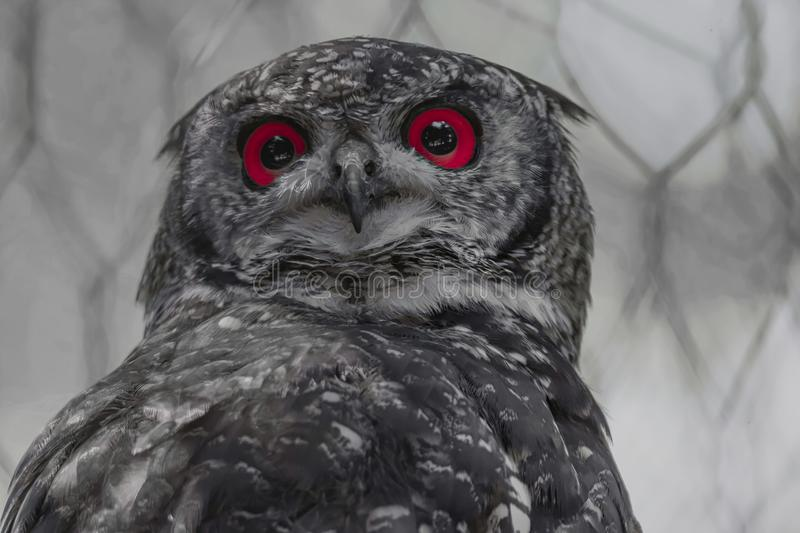 Real owl with red eyes. Abstract real owl with red eyes royalty free stock image