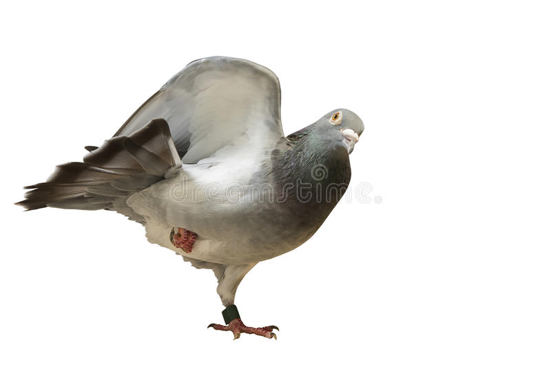 Real pigeon yoga exercise isolated white background royalty free stock photo