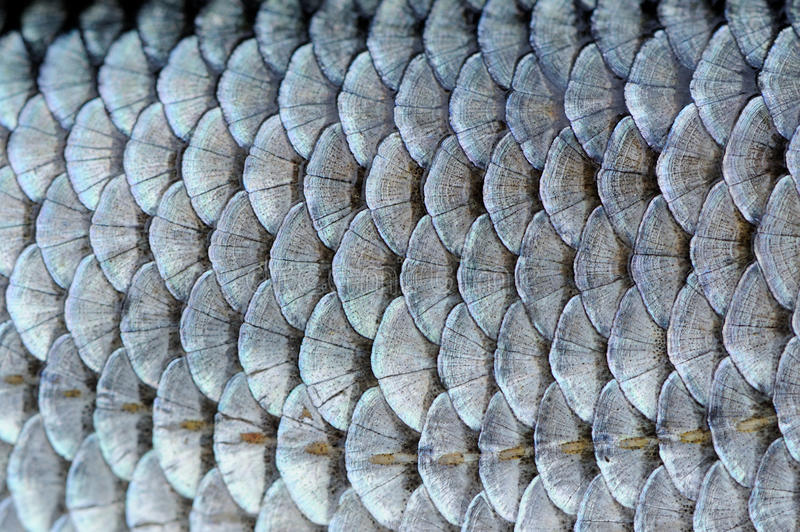 Real Roach Fish Scales Background. A close-up of roach (Rutilus rutilus) fish scales