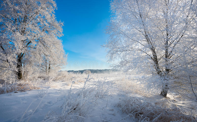 Real Russian Winter. Morning Frosty Winter Landscape With Dazzling White Snow And Hoarfrost, Trees And A Saturated Blue Sky. Field With Traces On A Sunny Day stock photos