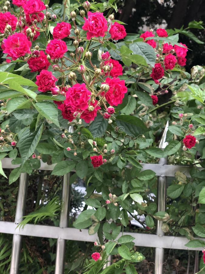 Real shot roseSmall red flower outside the iron railing royalty free stock image