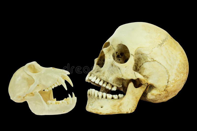 Real skulls of human and monkey on black background royalty free stock photos