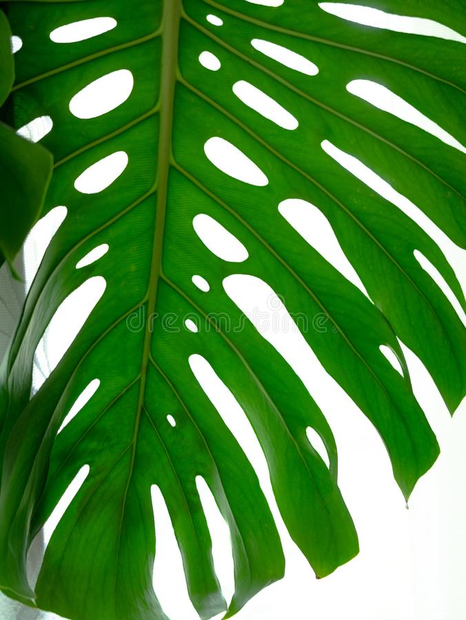 Real tropical leaves splitleaf philodendron, monstera on white backgrounds. Botanical nature concepts.flat lay design. Green leaf royalty free stock photo