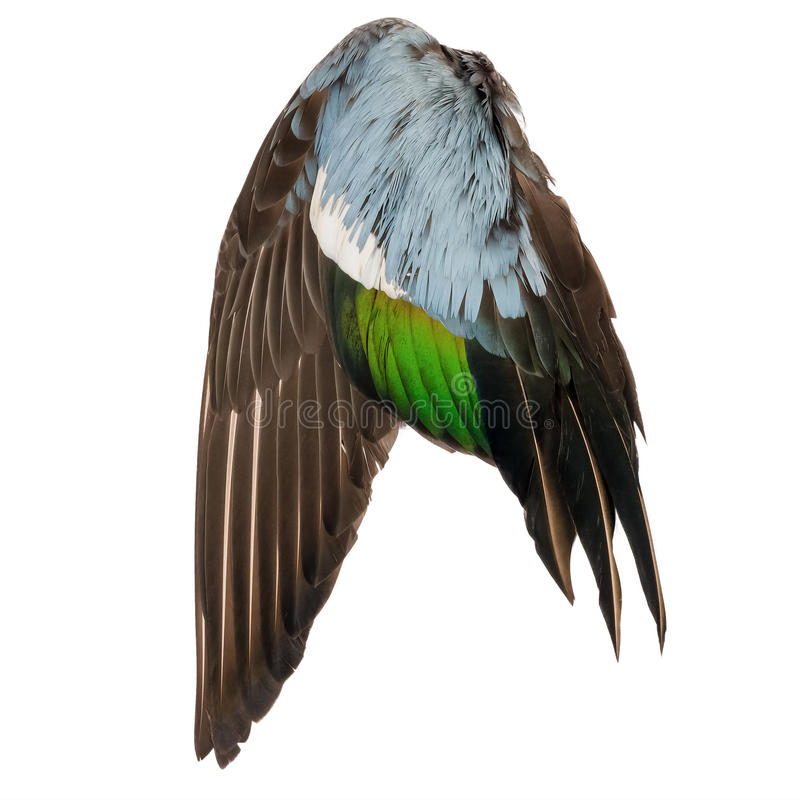 Real wild duck bird wing angel brown grey green blue white background.  stock photography