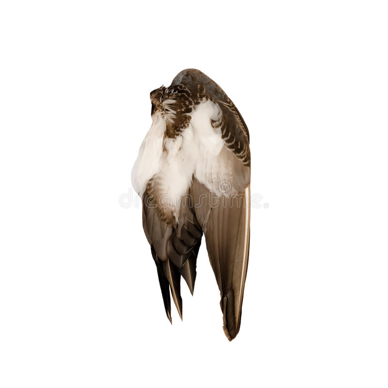 Free Real Wild Duck Bird Wing Angel Brown White Background Stock Photography - 88854172