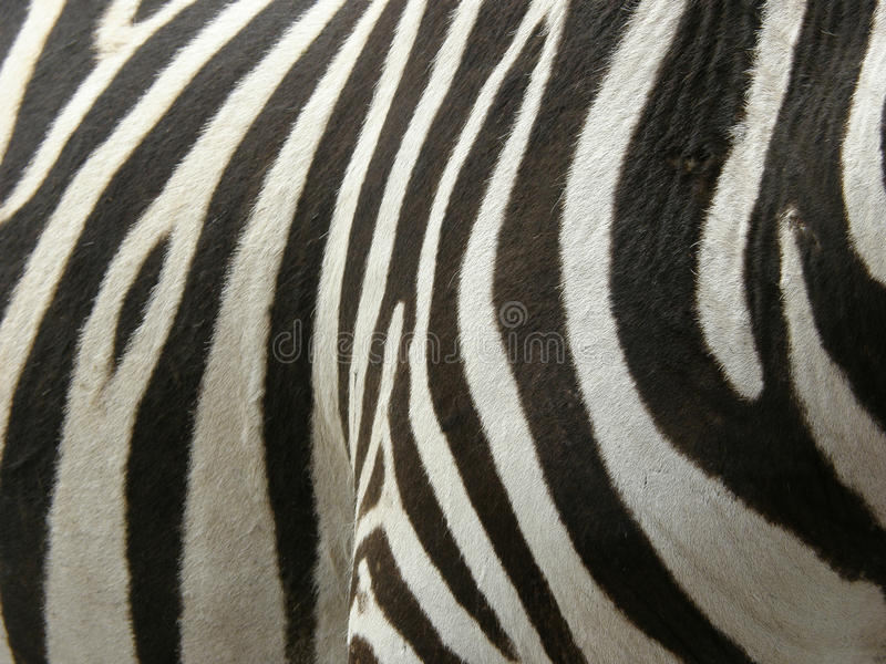 real Zebra stripes royalty free stock image