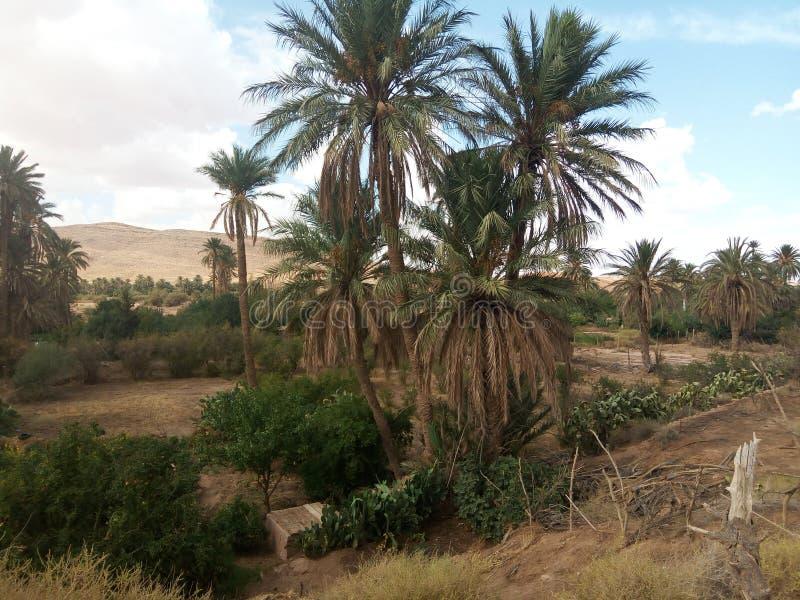 Reala pic naturalne palmy Algeria zdjęcie stock