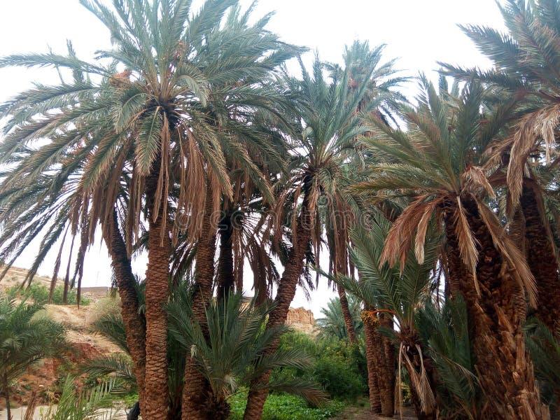 Reala pic naturalne palmy Algeria zdjęcia royalty free