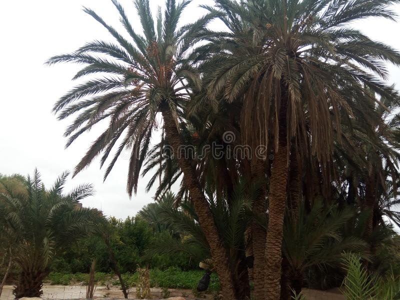 Reala pic naturalne palmy Algeria obrazy royalty free