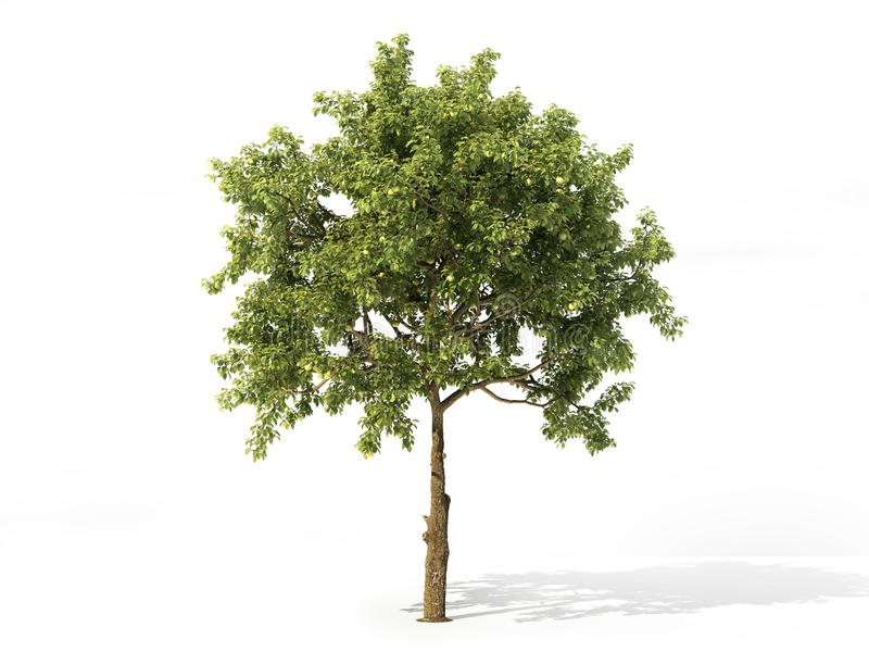 Realistic apple tree isolated on a white. 3d illustration. Realistic apple tree full of leaves isolated on a white. 3d illustration royalty free illustration