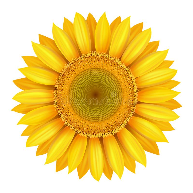 Realistic beautiful bright yellow sunflower blossom isolated royalty free illustration