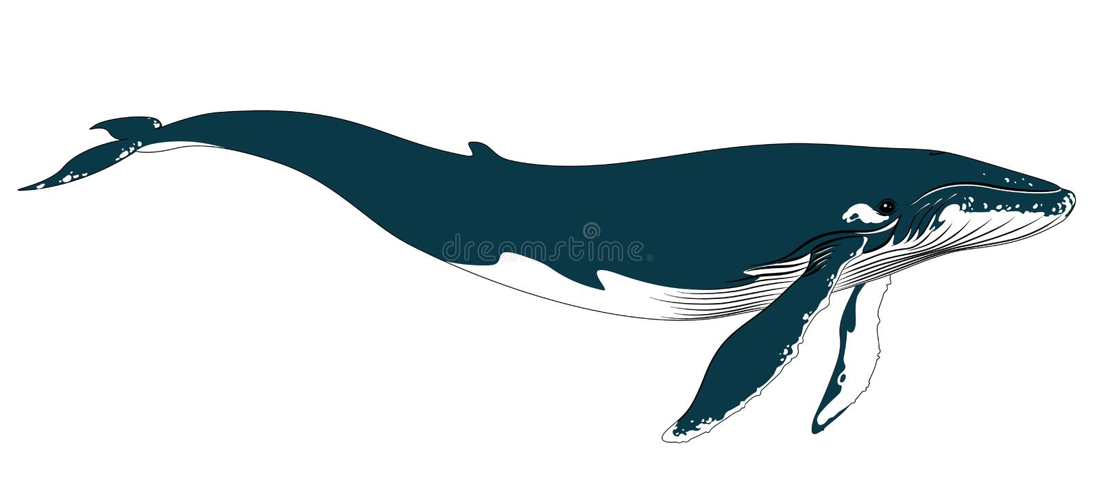 Realistic big blue whale on a white background. royalty free illustration
