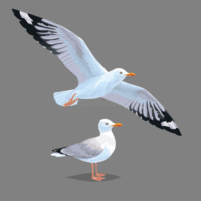 Realistic bird Seagull isolated on a grey background. Vector illustration of European Herring Gull. Realistic bird Seagull isolated on a grey background. Vector stock illustration