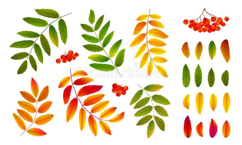 Realistic bright green and orange autumn rowan leaves and berries, vector set isolated on white background royalty free illustration