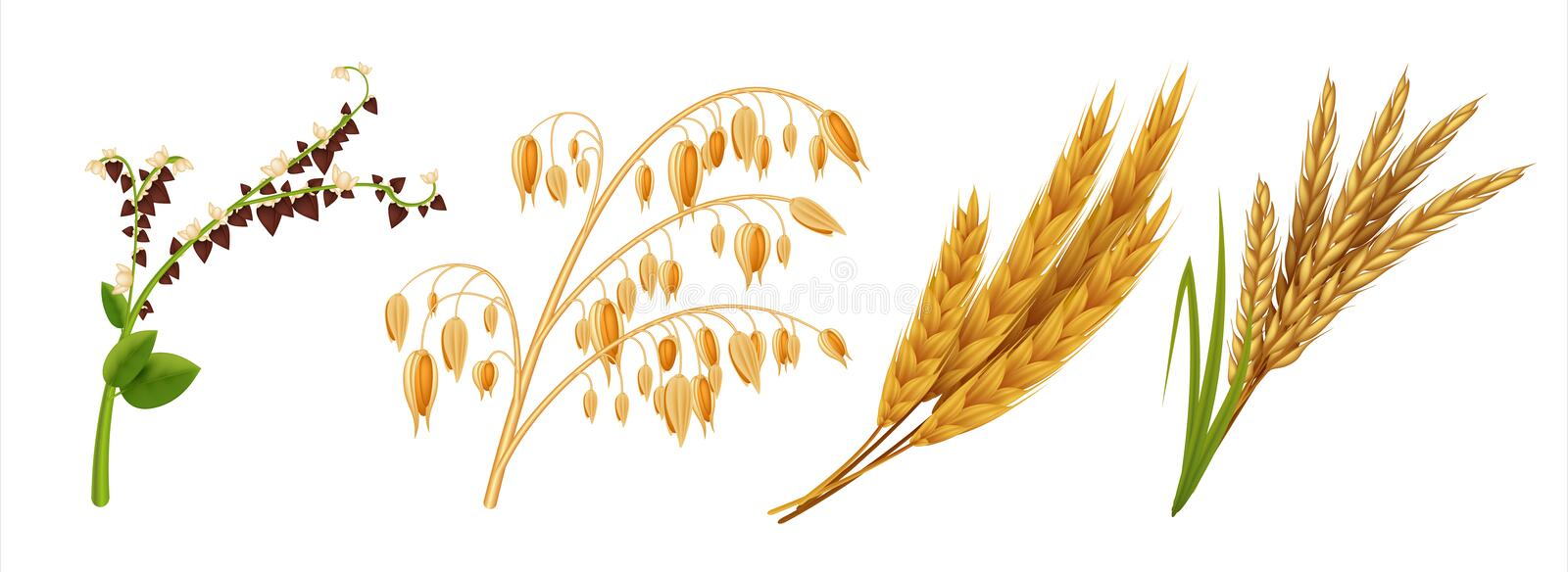 Realistic cereals. Oat wheat rice and barley ears, 3D agricultural healthy food and harvest seeds. Vector isolated crops. Realistic cereals. Oat wheat rice and stock illustration