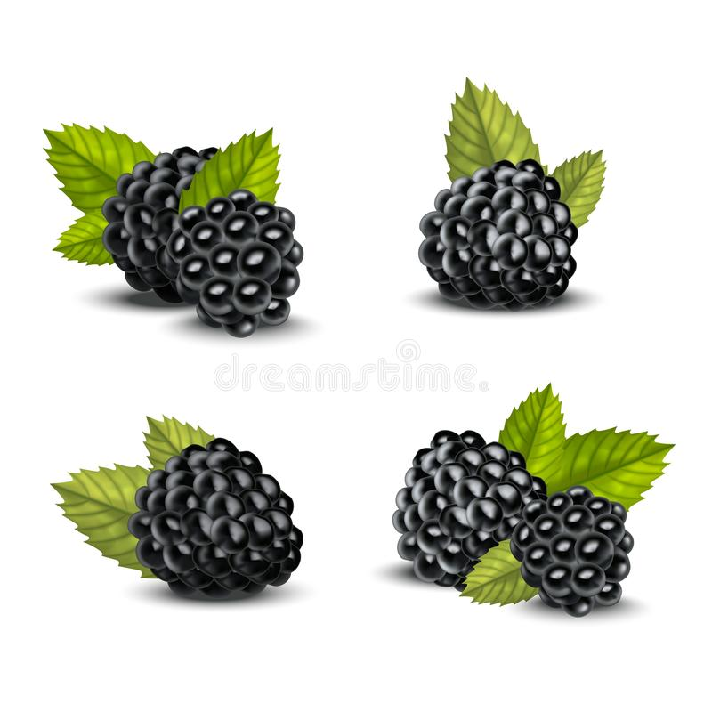 Realistic Detailed 3d Blackberries with Green Leaves Set. Vector royalty free illustration