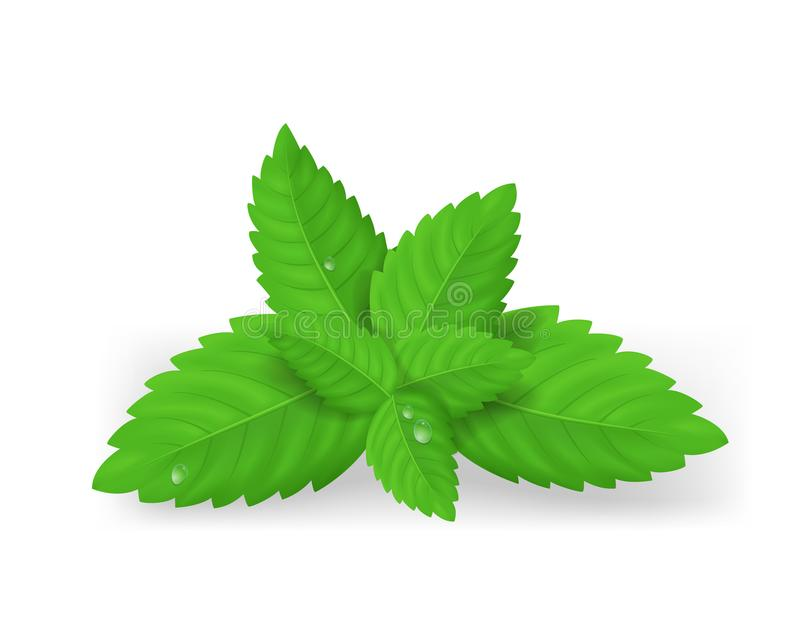 Realistic Detailed Fresh Green Mint Leaves. Vector royalty free illustration